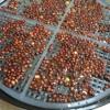 ブロッコリースプラウトの育て方② 水耕栽培の種まきから発芽まで