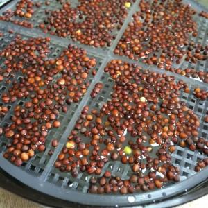 ブロッコリースプラウト かいわれブロッコリー スプラウト スプラウトポット 容器 種 種まき 種の量 育て方 作り方 栽培 方法
