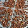 ブロッコリースプラウトの栽培1回目 室内の卓上で水耕栽培 種まき