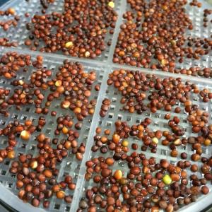 ブロッコリースプラウト 栽培キット 水耕栽培 種まき かいわれブロッコリー スプラウト 種