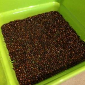 ブロッコリースプラウト 種 容器 穴 落ちる スプラウト キッチンファーム スプラウトファーム スプラウトポット 網目 流れる 水に浸ける 時間 一晩