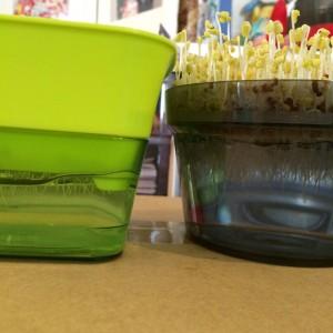 スプラウト 水耕栽培 ブロッコリースプラウト 容器 育て方 専用容器 自家製 家庭菜園 卓上