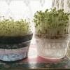 ブロッコリースプラウト他4種の水耕栽培キット スプラウト水栽セット