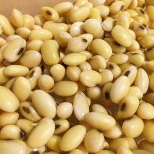 大豆 発芽 発芽野菜 大豆もやし 豆もやし 栽培 自家製 育て方 発根 根