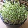 ブロッコリースプラウトの栽培1回目のまとめ 水耕栽培のキットで
