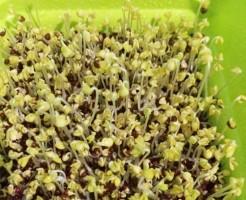 ブロッコリースプラウト 栽培 かいわれ ブロッコリー 芽 発芽 育て方 光 自家製 容器 スプラウトファーム 緑化 タイミング