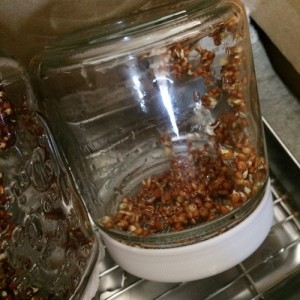 ラディッシュ 二十日大根 スプラウト 栽培 私のスプラウト 栽培キット 容器 ジャー 瓶 水切り網 口 発芽 発根 日数
