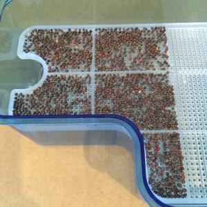 ブロッコリースプラウト かいわれ大根 スプラウト 栽培 同時 2種類 SELON スプラウトポット L型 容器 大きい サイズ 育て方