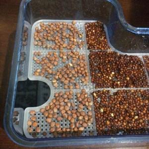 ブロッコリースプラウト かいわれ大根 スプラウト 栽培 同時 2種類 SELON スプラウトポット L型 容器 大きい 育て方 違い