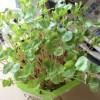 そばの芽のスプラウト 緑化から収穫前まで 栽培の日数は2週間