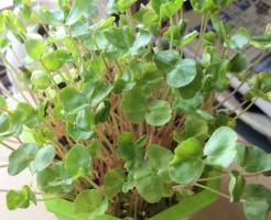 そばの芽 そば スプラウト 蕎麦 育て方 栽培 自家製 作り方 手作り 緑化 緑 赤 ピンク