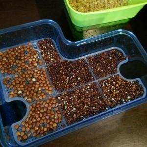 ブロッコリースプラウト かいわれ大根 スプラウト 栽培 同時 2種類 SELON スプラウトポット L型 容器 大きい 育て方 違い 発芽