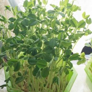 豆苗 えんどう豆 グリンピース 栽培 スプラウト 水耕栽培 容器 緑化 育て方 収穫 タイミング 自家製