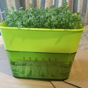 スプラウト 栽培 容器 スプラウトファーム マスタード からし菜 スプラウト 育て方 栽培方法