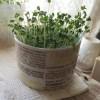 マグカップとコットンでブロッコリースプラウト栽培 緑化までの成長