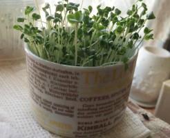 ブロッコリースプラウト 栽培 容器 マグカップ 100均 100円ショップ 種 芽 育て方 成長 記録 ブログ 日記