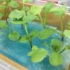 LEDライトで水耕栽培している二十日大根(ラディッシュ) 二週間目の成長