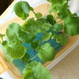 はつか大根 二十日大根 栽培 方法 水耕栽培 水だけ 土を使わない 栽培方法 育て方 タッパー スポンジ 葉 茎 膨らみ