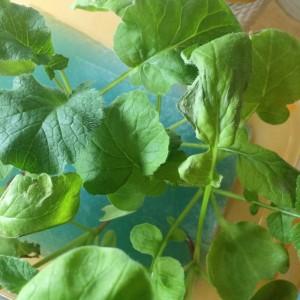 二十日大根 20日大根 栽培 水耕栽培 育て方 方法 タッパー 卓上 室内 光 葉が枯れる 枯れた